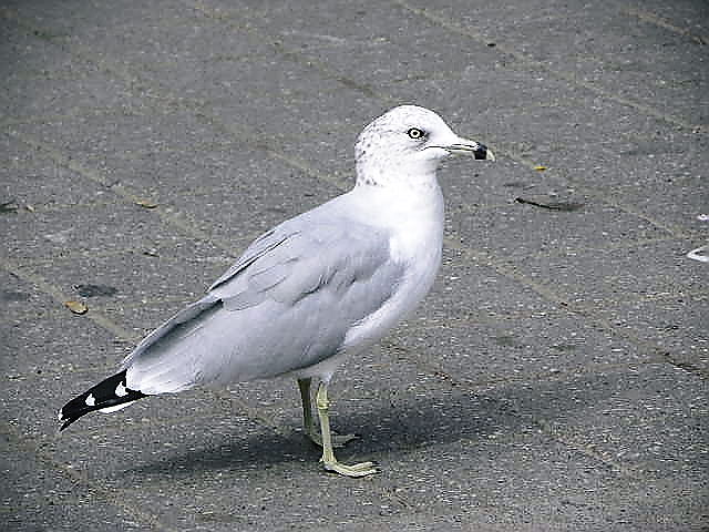 カナダの野鳥いろいろ: 身近な自...